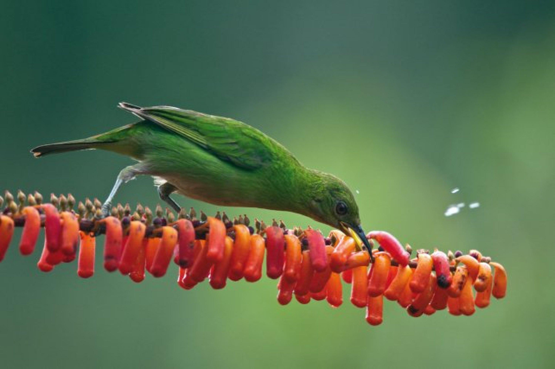 Un mâle de guit-guit saï (Cyanerpes cyaneus), en haut, et une femelle de guit-guit émeraude, en bas, les deux espèces d'oiseaux les plus observées lors de la floraison.