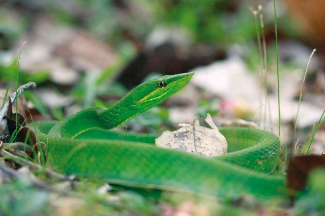 Le serpent liane, <i>Oxybelis fulgidus</i>, bien qu'arboricole, s'aventure parfois au sol.
