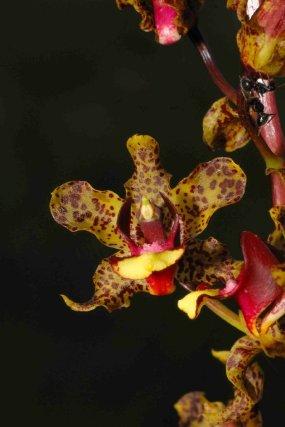de quelques savanes seulement, l'orchidée <i>Cyrtopodium parviflorum </i>est extrêmement rare en Guyane.