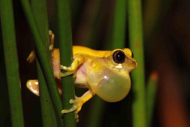 Malgré les conditions de vie extrêmes qui règnent en savanes, six espèces d'amphibiens sont strictement inféodées à ces milieux. Ici <i>Dendropsophus gaucheri</i>.