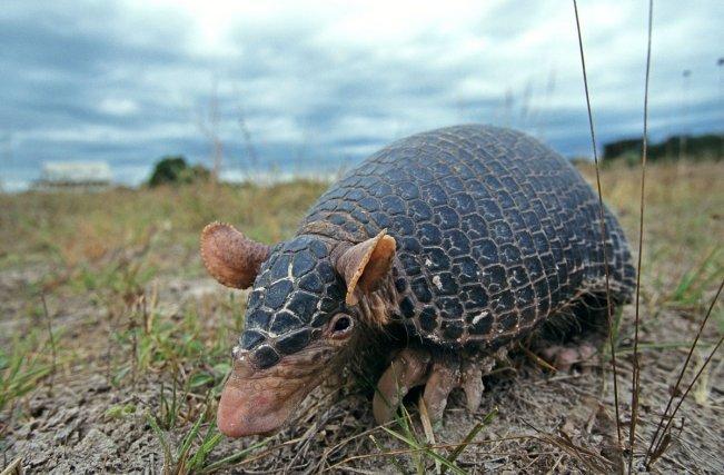 Les tatous appartiennent au super-ordre des Xénarthres que l'on ne trouve que sur le continent américain. Le tatou petit Cabassou <i> (Cabassous unicinctus) </i> est une espèce de mammifère présente dans les savanes en Guyane.