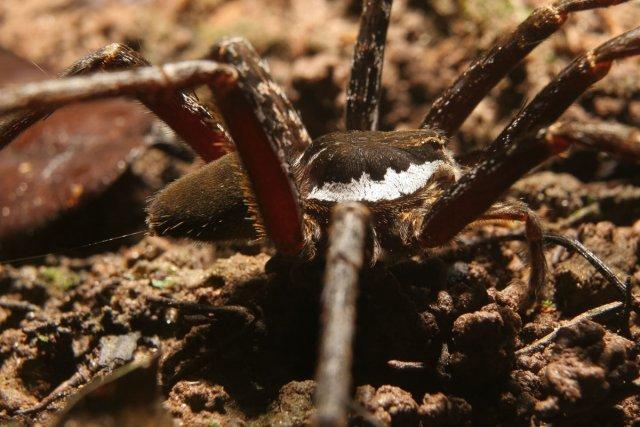 Ancylometes se déplaçant au sol. Les bandes blanches latérales de son cephalothorax sont caractéristiques des mâles.