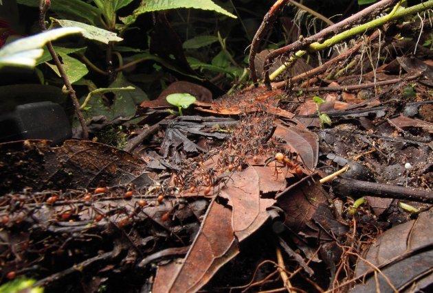 Colonne de chasse d'une colonie d'<i>Eciton burchelli</i>. Une armée de fourmis s'écoule telle une rivière sous la garde d'un soldat.....
