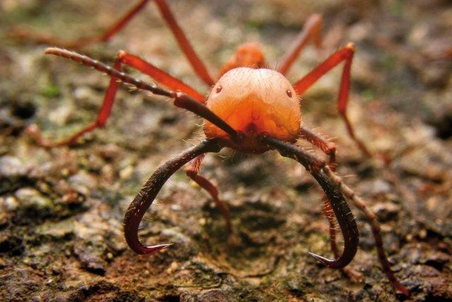 Le soldat <i>Eciton burchellii</i>, beaucoup plus grand que les ouvrières, possède des mandibules hypertrophiées en forme de sabres. Les têtes deces fourmis ont été utiliséescomme agrafe de suture parles amérindiens.