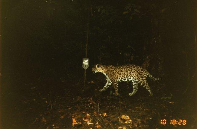 Ces clichés ont été obtenu dans le cadre d'une étude de densités de jaguars réalisé par Kwata et ses partenaires dans la région des Guyanes. La technique utilisée est celle du piégage photographique.