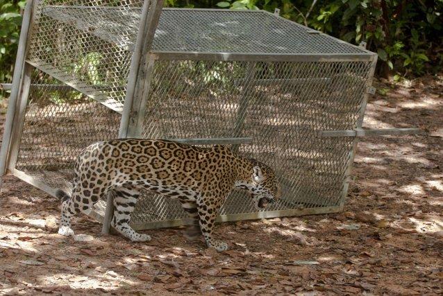 L'ONCFS peut intervenir pour délocaliser des jaguars, en les déplaçant avec une cage..