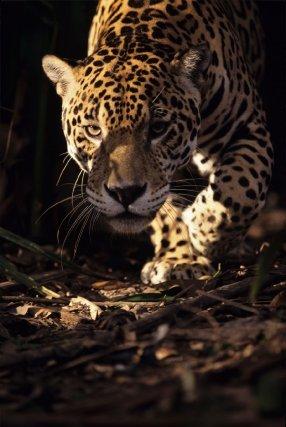jaguar un roi en sursis une saison en guyane. Black Bedroom Furniture Sets. Home Design Ideas