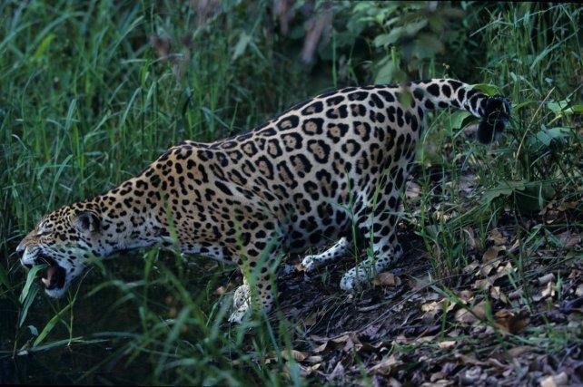 Comme les autres panthères, le jaguar possède la faculté de rugir.