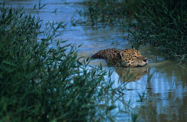 La présence d'eau est un paramètre important dans les habitats fréquentés par le jaguar