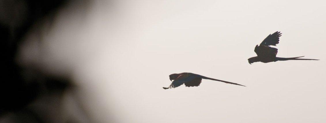 Chaque matin, une nappe de brouillard s'étend sur une vaste portion de la Guyane. Seul le vol battu permet aux oiseaux souhaitant s'y déplacer de rester en l'air, ici des Aras rouges <i>(Ara macao)</i>.