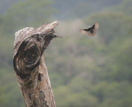 Un Moucherolle à longs brins <i>(Colonia colonus)</i> va se poser sur le sommet de l'arbre mort où est construit son nid. Les gouttes d'une petite averse ne dérangent pas son vol ni la précision de son approche.
