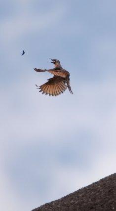 Une Moucherolle hirondelle <i>(Hirundinea ferruginea)</i> chasse les insectes au sommet d'un inselberg. Il profite de l'ascendance créée par la rencontre du vent et du relief pour voler sans se fatiguer et chasser longuement.
