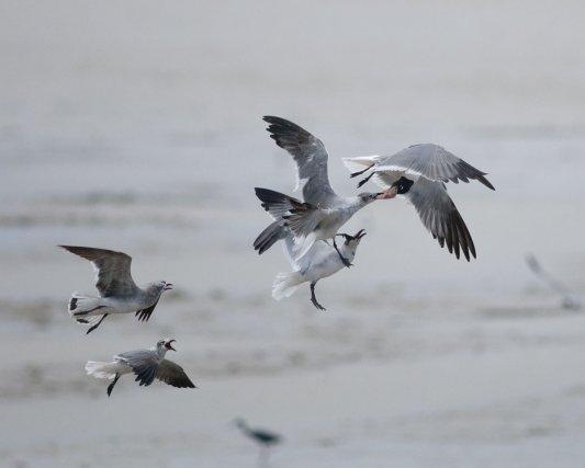 L'air marin offre un excellent terrain de vol. Le vent a souvent  une composante ascendante et est très laminaire. Cela permet à ces Mouettes atricilles <i>(Leucophaeus atricilla)</i> de se concentrer sur la dispute d'un repas.