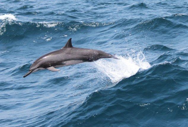 Saut d'un dauphin stenelle à long bec<i> (Stenella longirostris). </i>Guyane - 3 juin 2012.