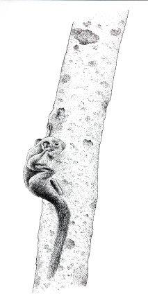 L'écureuil nain passe beaucoup de temps à la toilette de son pelage, parfois sur des branches verticales. Ses griffes lui permettent de se tenir sur seulement deux pattes.