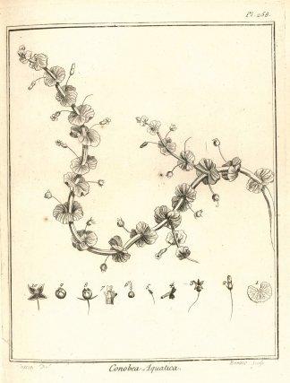 <i>Conobea aquatica</i> - dessin extrait de l'histoire des plantes de Guiane françoise par Fusée-Aublet
