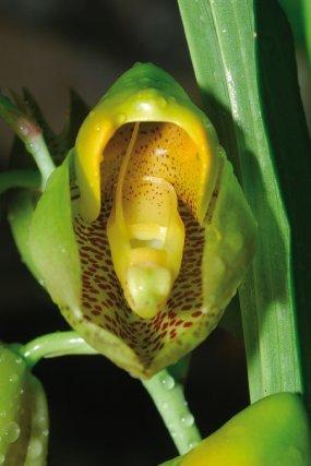 <i>Catasetum macrocarpum Rich.</i>ex Kunth Les Catasetum sont connus pour leur méthode sophistiquée de pollinisation. Leurs fleurs attirent les bourdons par un parfum enivrant, la fleur mâle possède de plus un mécanisme qui au moindre attouchement catapulte ses pollinies sur la tête de l'insecte. Ce sont les bourdons mâles du genre Eulaema qui affrontent ce phénomène. En pénétrant dans la fleur ils vont toucher deux appendices qui déclenchent le mécanisme de projection des pollinies. Au passage dans ces fleurs, les bourdons se chargent d'une substance à forte odeur de menthe dont on pense qu'elle leur servira à séduire leurs partenaires naturelles.