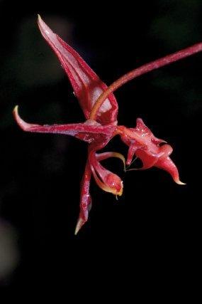 <i>Gongora atropurpurea Hook.</i> Les orchidées de notre département attirent l'insecte pollinisateur de différentes façons, elles adoptent des méthodes particulières, propres à chacune, elles se sont adaptées, diversifiées et rivalisent d'ingéniosité quant à la façon de procéder et seul l'élu de leur choix pourra repartir avec les pollinies vers une autre fleur et de ce fait assurer la descendance de l'espèce. La forme, les couleurs, les émissions de parfums, les récompenses en miellat, loin d'être des fantaisies inutiles de la nature, sont des atouts indispensables pour ces joyaux de notre région.