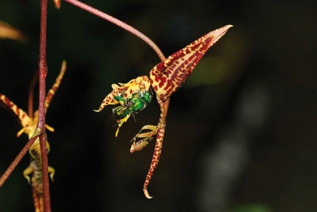 <i>Gongora pleiochroma Rchb. f</i> Pollinisée par les mâles d'une espèce particulière d'abeille Euglossa, la fleur des Gongora se présente à l'envers : le labelle en forme de casque et portant les zones sécrétrices attractives se trouve en haut, face vers le bas, il surmonte un agencement en forme de glissière ou de toboggan réalisé par la colonne et les deux pétales latéraux. Obligé de se retourner pour atteindre la source du parfum, l'insecte enivré chute et glisse sur le dos dans la glissière florale, son abdomen allant frapper le rostellum qui renferme les pollinies. Et l'abeille emporte les pollinies fixées sur son dos.