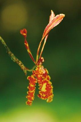 """<i>Psychopsis versteegiana (Pulle) Lückel & Braem</i>  Avec leur grande fleur chamarrée portée à l'extrémité d'une longue hampe rigide qui ploie sous le poids de celle-ci et qui se balance sous l'effet d'une brise légère, les Psychopsis portent à merveille le surnom d' """"orchidées papillons"""". Nous ne connaissons pas encore le pollinisateur de cette magnifique orchidée, très rare en Guyane et difficile à découvrir au cœur de la forêt."""