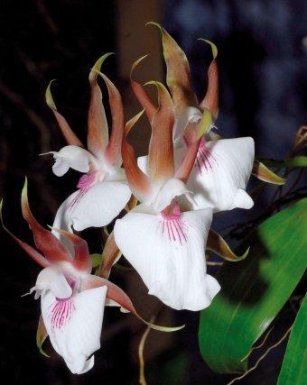 <i>Zygosepalum labiosum (Rich.) Garay Zygosepalum labiosum</i> porte un large labelle coloré qui lui a valu son nom de danseuse étoile en Guyane. Ses couleurs et son parfum attirent l'insecte pollinisateur vers le fond de sa gorge, mais aucun nectar ne l'y attend. Leurré, il finit par repartir, mais avec les pollinies... La fleur a gagné.