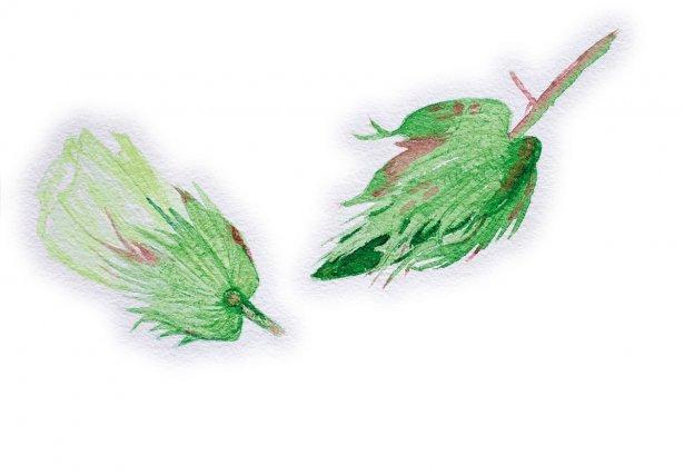 <b>Coton</b>, ,<i>Gossypium barbadense L., Malvaceae</i> : analgésique et calmant Originaire du Pérou, le coton est surtout connu pour ses usages textiles. Les Amérindiens le cultivent à l'abattis pour la confection des hamacs et porte-bébés. En Europe, on connaît l'usage alimentaire et cosmétique de l'huile tirée des graines. Cet arbuste décoratif, cultivé dans les jardins et les villages, possède aussi des propriétés médicinales : les Créoles en font des cataplasmes contre les échauffements. Les Wayãpi utilisent les feuilles comme hémostatiques, et  les boutons floraux pour préparer un analgésique auriculaire (Grenand et al., 2004). Cet usage contre les douleurs des oreilles  est retrouvé chez les Aluku qui le préparent avec le fruit immature, et qui emploient également le jus des feuilles ramollies au feu pour soigner les migraines, les irritations oculaires, et les feuilles en bain contre la fièvre. Le plus souvent on préfère la variété à fleurs rouge pour la préparation des remèdes (Fleury, 1991). Les Palikur utilisent les feuilles comme antiparasitaire et les fleurs contre les rougeurs (Grenand et al., 2004).