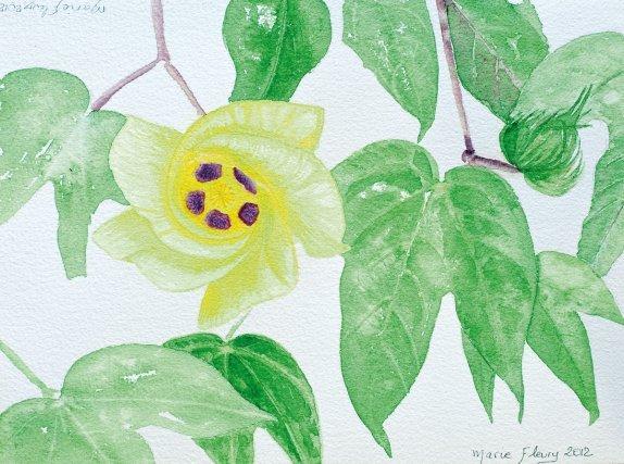 <b>Coton</b>,<i> Gossypium barbadense L., Malvaceae</i> : analgésique et calmant Originaire du Pérou, le coton est surtout connu pour ses usages textiles. Les Amérindiens le cultivent à l'abattis pour la confection des hamacs et porte-bébés. En Europe, on connaît l'usage alimentaire et cosmétique de l'huile tirée des graines. Cet arbuste décoratif, cultivé dans les jardins et les villages, possède aussi des propriétés médicinales : les Créoles en font des cataplasmes contre les échauffements. Les Wayãpi utilisent les feuilles comme hémostatiques, et  les boutons floraux pour préparer un analgésique auriculaire (Grenand et al., 2004). Cet usage contre les douleurs des oreilles  est retrouvé chez les Aluku qui le préparent avec le fruit immature, et qui emploient également le jus des feuilles ramollies au feu pour soigner les migraines, les irritations oculaires, et les feuilles en bain contre la fièvre. Le plus souvent on préfère la variété à fleurs rouge pour la préparation des remèdes (Fleury, 1991). Les Palikur utilisent les feuilles comme antiparasitaire et les fleurs contre les rougeurs (Grenand et al., 2004).