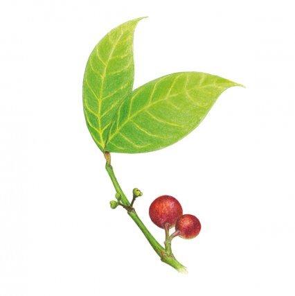"""<b>Vénéré</b>  (<i>Siparuna guianensis Aubl., S. poeppigii A. DC.</i>), Siparunaceae: nettoyante et calmante. Il est très difficile de distinguer les différentes espèces de Siparuna qui sont toutes regroupées sous le même nom de """"vénéré"""" en Guyane, avec toutefois des distinctions de couleur (rouge et blanc). Ce nom vient de """"vulnéraire"""" qui signifie """" propre à soigner une blessure"""". C'est un de ses nombreux usages tant chez les Créoles de Guyane, qu'en Amazonie. En effet  l'usage du vénéré est très partagé, à la fois par les populations amérindiennes, businenge et créoles.  Il est parfois cultivé dans les jardins de la côte, tandis que dans l'intérieur on le récolte dans le milieu naturel, où il est surtout fréquent en végétation secondaire. On le reconnaît surtout grâce à son odeur très particulière, qui lui a valu son nom en langue aluku (kapasi wiwii), car on dit qu'il a l'odeur du tatou (kapasi). Les Créoles guyanais lui attribuent surtout le pouvoir de nettoyer le sang, de soigner la fièvre (en bain). Cette activité fébrifuge est reconnue également chez les Aluku et les Amérindiens. Les études chimiques ont permis d'isoler de la plante un alcaloïde qui possède une action sédative, analgésique, antibactérienne, antifongique et cytotoxique. L'espèce possède aussi des propriétés anti-radicalaires (Grenand et al., 1987).  Les propriétés anxiolytiques (calmantes) de la plante, connues en Amazonie brésilienne, pourraient être liées à des flavonoïdes (Negri et al., 2012). Cette plante a donc un potentiel intéressant qui justifie ses usages populaires dans toutes les populations de Guyane. Elle est d'ailleurs est en cours de demande d'inscription à la pharmacopée française ce qui permettra de tester sa toxicité.."""