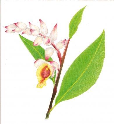 """<b>Atoumo,</b> <i>Alpinia zerumbet</i> (Pers.) Burtt et Smith, Zingiberaceae: aromatique, antigrippale et anti-ulcère Cette plante indomalaise de la famille du gingembre, avec ses grandes feuilles linéaires et ses hampes de fleurs très décoratives, est cultivée dans les jardins comme plante ornementale. En Guyane, les feuilles aromatiques sont employées pour parfumer les grillades et boucans. En Martinique l'infusion des feuilles est le remède le plus utilisé contre la grippe. L'usage du rhizome contre les ulcères a été confirmé par les scientifiques. L'extrait alcoolique des fleurs et des rhizomes a des propriétés antiseptiques et antixoydantes intéressantes. Si l'atoumo n'est pas vraiment une panacée comme son nom l'indique (""""contre tous les maux""""), les travaux Tramil1 recommandent son usage comme antigrippal et contre les ulcères gastriques (Longuefosse, 1995)."""