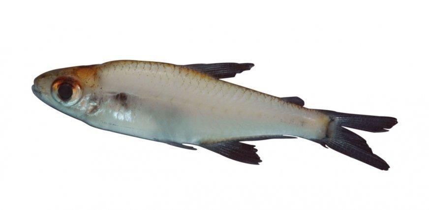 <i>Aphyocharacidium melandetum </i>, espèce rarissime en Guyane.