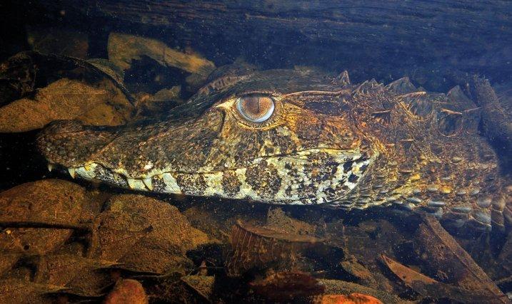 Le caiman gris <i> (Paleosuchus trigonatus) </i>est typique des criques forestières. celui-ci, caché sous une berge, s'est laissé approcher à quelques centimètres