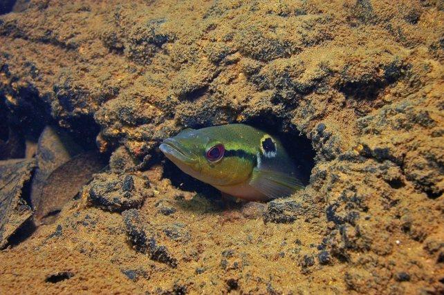 <i>Crenicichla saxatilis </i>est un des poissons les plus colorés de Guyane. Une femelle en parure nuptiale sort de son trou situé sous la berge.