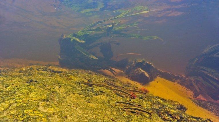 Ce petit banc de <i>Parodon guianensis</i> racle la roche dans une zone peu profonde où le courant est très fort.