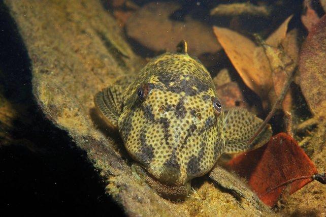 <i>Hypostomus gymnorhynchus </i> est la seule espèce de son genre à fréquenter les criques de l'intérieur. Les autres espèces sont inféodées aux zones basses soumises aux marées.