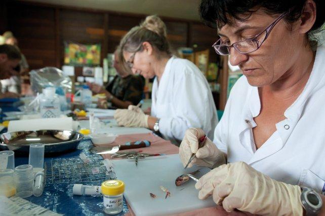 Une autre équipe, basée au village de Saül, identifie, dissèque, échantillonne les specimens collectés sur le terrain.
