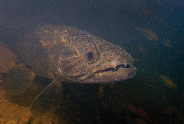 Les Aïmaras <i>(Hoplias aimara)  </i>sont fréquents dans les petites criques, en particulier lorsque la pression de pêche est faible. Son approche fantomatique lors d'une plongée de nuit ne peut laisser indifférent.