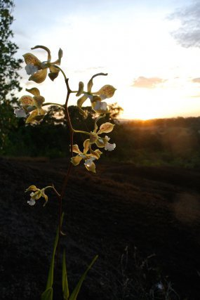 Encyclia granitica, cette orchidée est une espèce épiphyte. Elle se sert habituellement d'autres végétaux, en particulier d'arbres, pour pousser en forêt.  Sur la savane-roche Virginie, elle pousse naturellement à même le granite où elle a directement accès au soleil à l'eau dont elle a besoin.