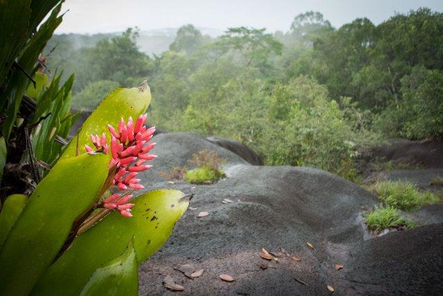 Fleur d'une bromelia, Aechmea melionii, une espèce commune de la savane roche Virginie. Pour l'instant, elle n'a été observée que sur ce site.