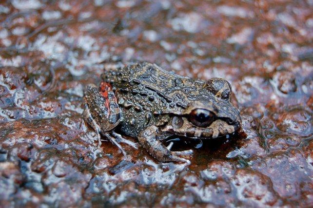 La grenouille Leptodactylus meyersii est adapté aux plateaux de granites et aux inselbergs comme la savane-roche Virginie. La journée, elle se cache dans des trous humides et frais de la roche. Les têtards se développent dans les traces d'eau présentes sur l'inselberg durant la saison des pluies.
