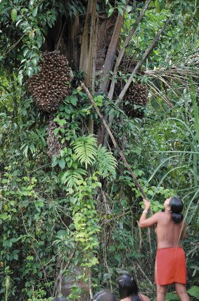 Récolte du palmier Maripa à Antecume Pata sur le Haut-Maroni.