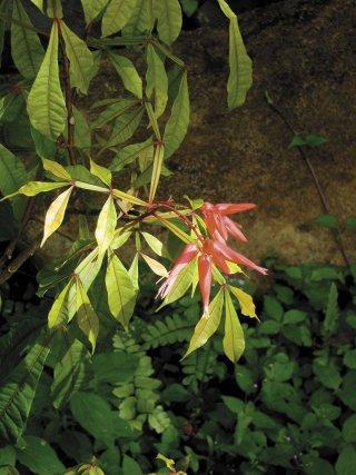 Feuilles et fleurs de Quassia amara, antipaludique réputé.
