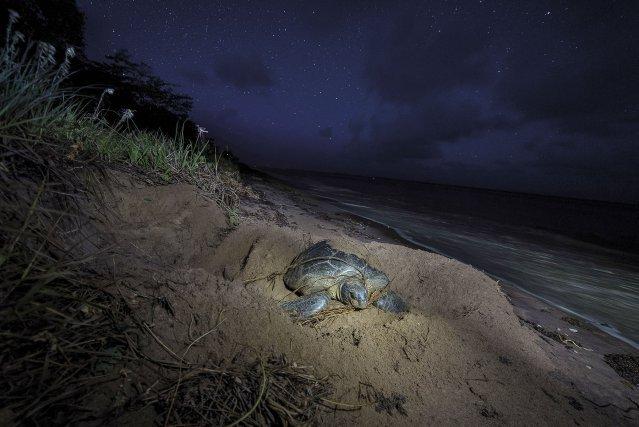 Si la plage de Yalimapo est connue pour la ponte des tortues luths, aujourd'hui les tortues vertes (katalu en kali'na) sont plus fréquentes.