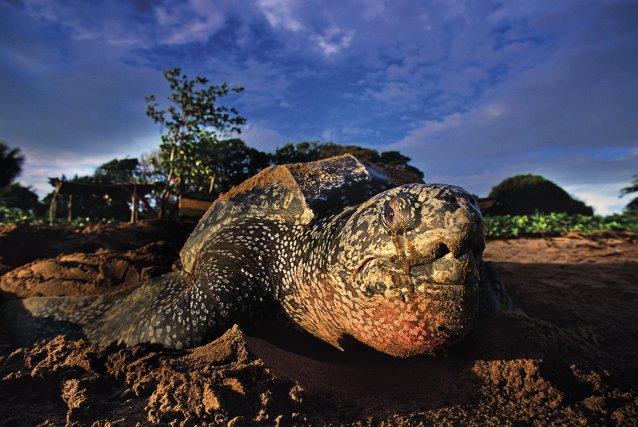 Au début des années1990, la plage de Yalimapo accueillait la ponte de près de la moitié des tortues luths (kawana en kali'na) du monde.
