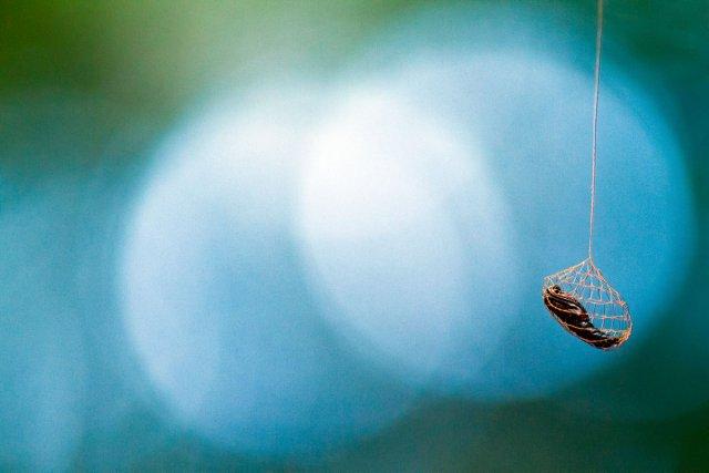 BIODIVERSITE INFINIMENT PETITE : Cocon d'Urodidae (Papillon de nuit), il faut toujours avoir un bon hamac à l'abri de l'humidité - Réserve du Mont Grand Matoury