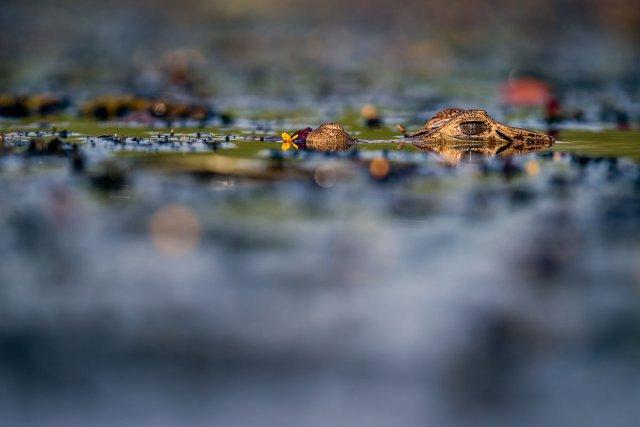 Coups de cœur : Caïman à lunettes affleurant à la surface de l'eau dans les prierais de Yiyi, à Sinnamary