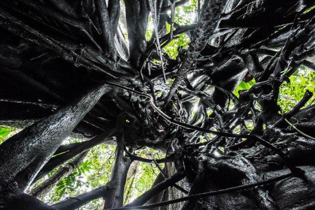 FLORE PRESENTE EN GUYANE : Intérieur d'un ficus étrangleur sous la pluie, Saül