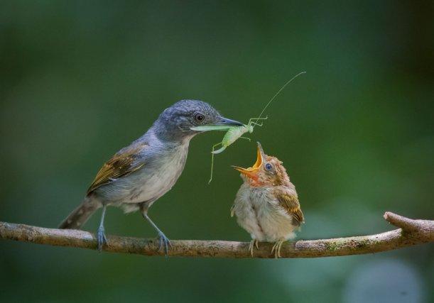 Coups de cœur : Instinct paternel : jeune Batara souris nourri par son père, dans le sous bois de la foret primaire.