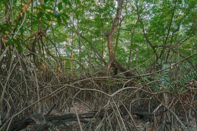 PAYSAGES GUYANAIS : Mangrove sur le sentier des Salines