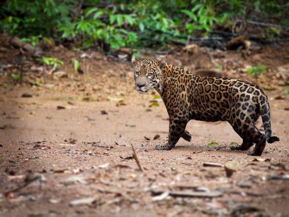 FAUNE PRESENTE EN GUYANE : Jaguar sur un layon près de St Georges de l'Oyapock