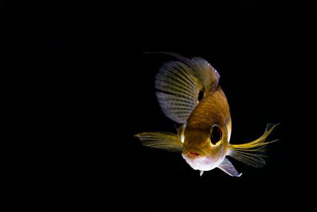 FAUNE PRESENTE EN GUYANE <i>Cichlasomabimaculatum</i>. Poisson qui fut capturé à l'épuisette et maintenu dans un petit aquarium de terrain le temps de faire la photo et ensuite relaché.